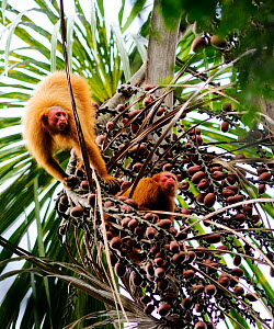 Peruvian red uakari monkey (Cacajao calvus ucayalii) feeding in rainforest on aguaje palm fruits (Mauritia flexuosa) Yavari River, Peru, wild, vulnerable species  -  Mark  Bowler