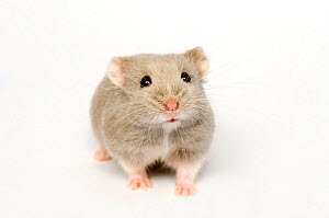 Campbell's Russian dwarf hamster (Phodopus campbelli) opal colour form - Mark  Bowler