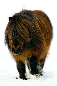 Minature Shetland Pony {Equus caballus} in snow, UK  -  Mark  Bowler
