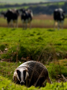 European Badger (Meles meles) with cows in the background, Sussex, UK, April 2009  -  Mark  Bowler