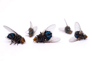 Dead Houseflies {Musca domesticus} and Bluebottle flies {Calliphora vomitaria}, UK  -  Mark Bowler,Mark  Bowler