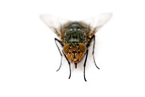 Housefly {Musca domestica}  -  Mark  Bowler