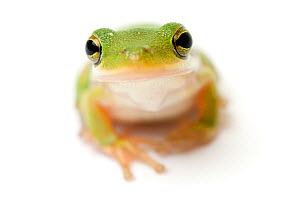 American green tree frog {Hyla cinerea} looking up - Mark  Bowler