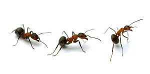 Wood ant {Formica rufa} aggressive sequence  -  Mark  Bowler