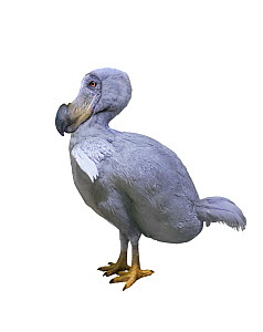 Dodo {Raphus cucullatus} reconstruction. Extinct.  -  Mark Bowler,Mark  Bowler