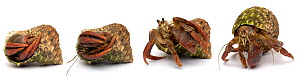 Purple pincher / Purple claw land hermit crab {Coenobita clypeatus} a tropical rainforest land crab from the Caribbean. Sequence showing crab emerging from shell. Digital composite - Mark  Bowler
