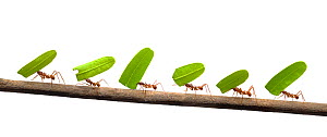 Line of Leaf-cutter ants (Atta sp) carrying leaves, digital composite - Mark  Bowler