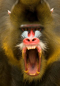 Mandrill (Mandrillus sphinx) male showing aggression, captive  -  Mark  Bowler