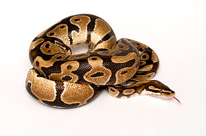 Ball / Royal python (Python regius) coiled with tongue extended  -  Mark  Bowler