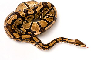Ball / Royal python (Python regius) coiled, moving away  -  Mark Bowler,Mark  Bowler