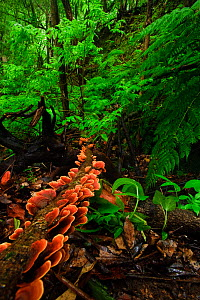 Laurisilva forest floor, with fungi growing on fallen tree, Tilos Natural Park, La Palma, Canary Islands, Spain, March 2009 - Wild Wonders of Europe / Relanzón