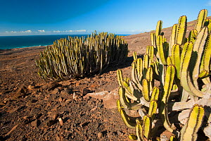 Euphorbia canariensis growing near the coast, Feurteventura, Canary Islands, Spain, April 2009  -  Wild Wonders of Europe / Relanzón