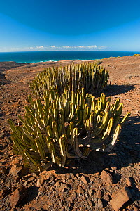 Euphorbia canariensis growing near the coast, Fuerteventura, Canary Islands, Spain, April 2009  -  Wild Wonders of Europe / Relanzón
