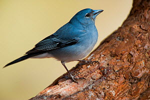 Teide's blue chaffinch (Fringilla teydea) on tree, Teide National Park, Tenerife, Canary Islands, Spain, May 2009  -  Wild Wonders of Europe / Relanzón