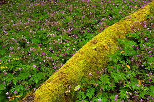 Laurisilva forest, fallen Laurus azorica covered in moss, surrounded by Geranium canariensis, Garajonay National Park, La Gomera, Canary Islands, Spain, May 2009  -  Wild Wonders of Europe / Relanzón
