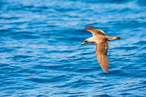 Cory's Shearwater (Calonectris diomedea) in flight over sea, Canary Islands, May 2009 - Wild Wonders of Europe / Relanzón