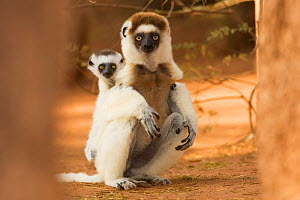 Verreaux's sifaka (Propithecus verreauxi) mother carrying baby sitting on haunches, Berenty Private Reserve, Madagascar, October  -  Anup Shah
