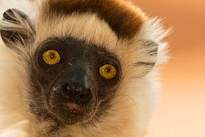 Verreaux's sifaka (Propithecus verreauxi) head portrait, Berenty Private Reserve, Madagascar, October  -  Anup Shah