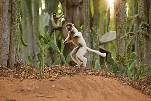 Verreaux's sifaka (Propithecus verreauxi) 'hopping' across open ground to reach new feeding area, Berenty Private Reserve, Madagascar, October  -  Anup Shah
