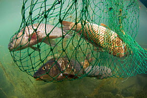 Fish caught in net, Lake Skadar, Lake Skadar National Park, Montenegro, May 2008  -  Wild Wonders of Europe / Radisics