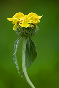 Jerusalem sage (Phlomis fruticosa) in flower, Lake Skadar National Park, Montenegro, May 2008  -  Wild Wonders of Europe / Radisic