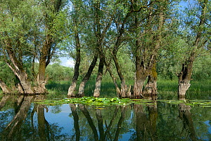 Willow trees (Salix) growing in water, Lake Skadar, Lake Skadar National Park, Montenegro, May 2008  -  Wild Wonders of Europe / Radisics