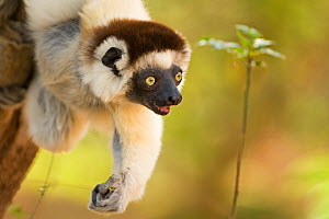 Verreaux's sifaka (Propithecus verreauxi) reaching out for a branch, Berenty Private Reserve, Madagascar, October - Fiona Rogers