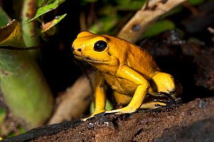 Golden Poison Dart Frog (Phyllobates terribilis) captive, from Colombia, Endangered Species - Rod Williams