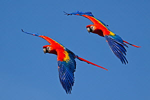 Scarlet macaws (Ara macao) in flight, captive, from Central and South America - Rod Williams