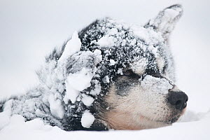 Sled dog resting, covered in snow, minus 20 degrees centigrade, West coast of Spitsbergen, Svalbard, Norway, March  -  Roy Mangersnes