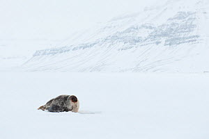 Female Ringed seal (Pusa hispida) on ice, Tempelfjorden, West coast of Spitsbergen, Svalbard, Norway, March - Roy Mangersnes