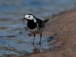 Pied Wagtail {Motacilla alba yarrelli} carrying insect for young, Glen Kingie, West-Inverness, Scotland, UK  -  Roger Powell