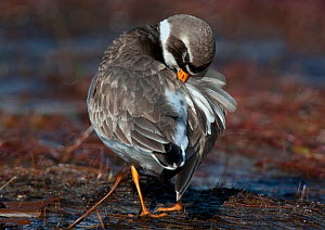 Ringed Plover {Charadrius hiaticula} preening after bathing, Lochan, Glen Kingie, West-Inverness, Scotland, UK  -  Roger Powell