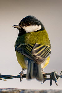 Great tit (Parus major) perching on barbed wire fence, winter, Somerset, UK Not available for ringtone/wallpaper use.  -  Warwick Sloss