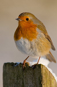 Robin (Erithacus rubecula) perching on fence post in snow, winter, Somerset, UK  -  Warwick Sloss