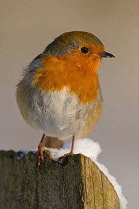 Robin (Erithacus rubecula) on fence post in snow, winter, Somerset, UK  -  Warwick Sloss