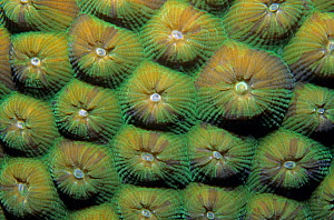 Great star coral (Montastraea cavernosa) close-up, Banco Chinchorro Biosphere Reserve, Carribean Sea, Mexico, May - Claudio Contreras