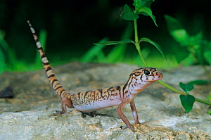 Yucatan banded gecko (Coleonyx elegans) with tail in the air, Dzibilchaltun National Park, Yucatan Peninsula, Mexico, July  -  Claudio Contreras