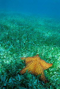 Cushion sea star (Oreaster reticulatus) on Turtle grass (Thalassia testudinum) Banco Chinchorro Biosphere Reserve, Caribbean Sea, Mexico, July - Claudio Contreras