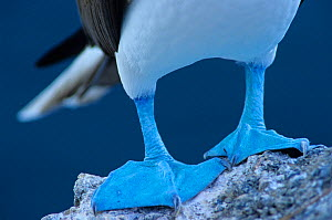 Blue-footed booby (Sula nebouxii) close-up of feet, Isabel Island National Park, Sea of Cortez (Gulf of California) Mexico, December  -  Claudio Contreras