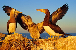 Brown booby (Sula leucogaster) pair with chick stretching its wings, Isabel Island National Park, Sea of Cortez (Gulf of California) Mexico, December  -  Claudio Contreras