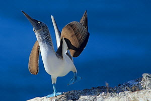 Male Blue footed booby (Sula nebouxii) displaying, Isabel Island National Park, Sea of Cortez (Gulf of California) December  -  Claudio Contreras