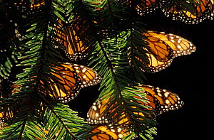 Hibernating Monarch butterflies (Danaus plexippus) El Rosario Colony, Monarch Butterfly Sanctuary, Mexico, February  -  Claudio Contreras