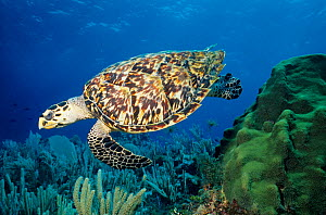 Hawksbill turtle (Eretmochelys imbricata) Cancun National Park, Caribbean Sea, Mexico, July  -  Claudio Contreras