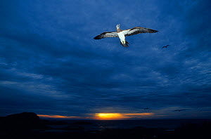 Male Brown booby (Sula leucogaster) in flight, Isabel Island National Park, Sea of Cortez (Gulf of California) Mexico, March - Claudio Contreras