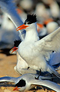 Royal tern (Thalasseus maximus) pair, post-mating dance, Rasa Island Special Biosphere Reserve, Sea of Cortez (Gulf of California) Mexico, April  -  Claudio Contreras