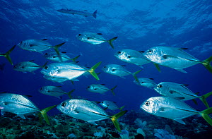 Shoal of Horse-eye jack / trevally (Caranx latus) with Great barracuda (Sphyraena barracuda) in the background, Cancun National Park, Caribbean Sea, Mexico, July  -  Claudio Contreras