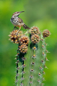 Cactus wren (Campylorhynchus brunneicapillus) feeding on Pitaya cactus fruit (Stenocereus griseus) Jaumave desert, northeast Mexico, May  -  Claudio Contreras