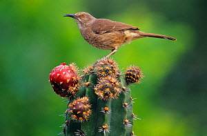 Curve-billed thrasher (Toxostoma curvirostre) feeding on Pitaya cactus fruit (Stenocereus griseus) Jaumave desert, northeast Mexico, May  -  Claudio Contreras
