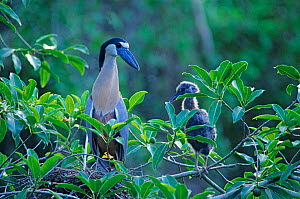 Boat-billed heron (Cochlearius cochlearius) at nest with chick, Tamaulipas, northeast Mexico, June  -  Claudio Contreras